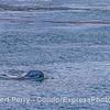 Eschrichtius robustus calf chin lift 2017 05-03 SB Coast-030