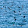 Puffinus griseus flock resting on ocean surface 2017 05-03 SB Coast-011