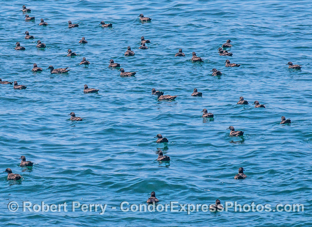 Puffinus griseus flock resting on ocean surface 2017 05-03 SB Coast-011