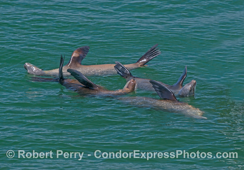 Zalophus californianus in water near buoy 2017 05-03 SB Coast-016