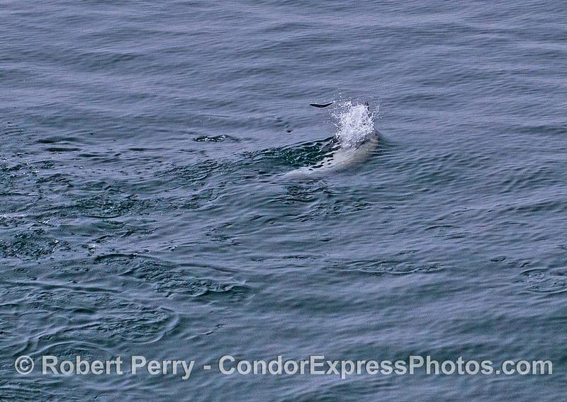 Delphinus capensis upside down feeding Engraulis mordax 2017 05–04 SB Coast-c-003