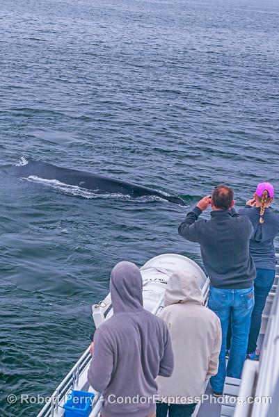 Megaptera novaeangliae & passengers 2017 05–04 SB Coast-a-003
