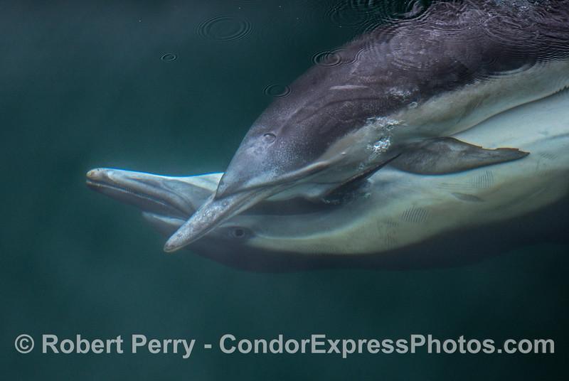 Delphinus capensis mating seq 2017 05–04 SB Coast-e-006
