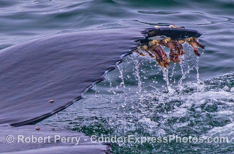 Megaptera novaeangliae tail fluke tip & barnacles CLOSE 2017 05–04 SB Coast-b-010