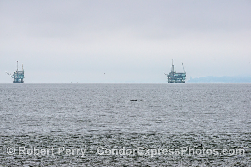 Minke whale near offshore oil platforms C and B