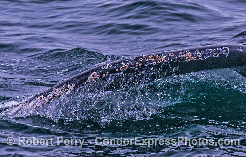 Water falling from the leading edge of a humpback whale tail.  Barnacles are also present.
