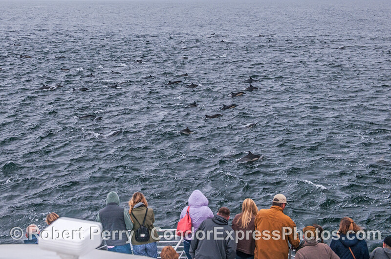 A herd of very friendly common dolphins visit their fans.