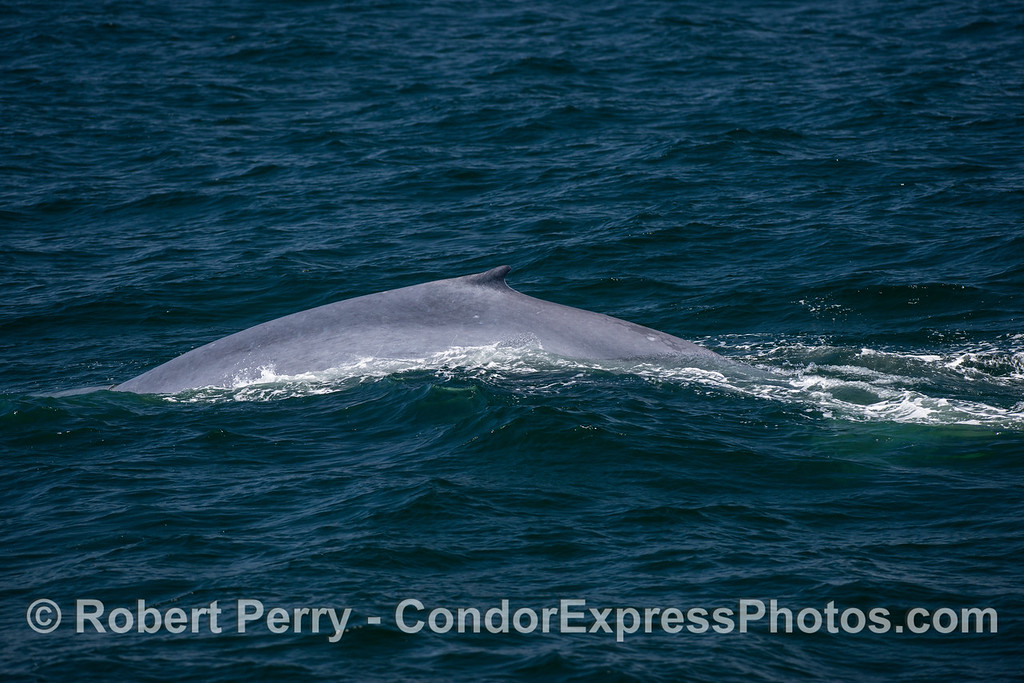 A blue whale arches its back, and shows its small dorsal fin, as it prepares to dive.
