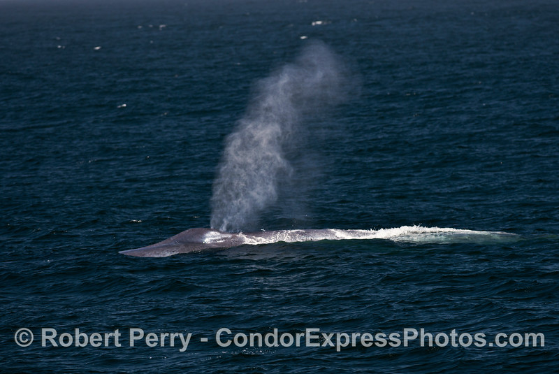 A giant blue whale sends up a tall spout into the breeze.