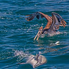 A common dolphin hunts anchovies on its side.  An escaping anchovy and a feeding brown pelican are also seen here.