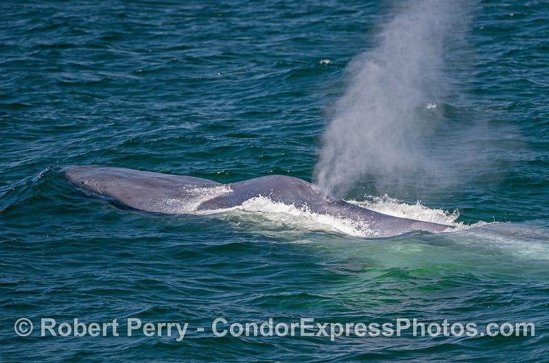 Spout of a giant - a blue whale.