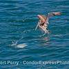 An upside down feeding dolphin has attracted the attention of a hungry pelican.