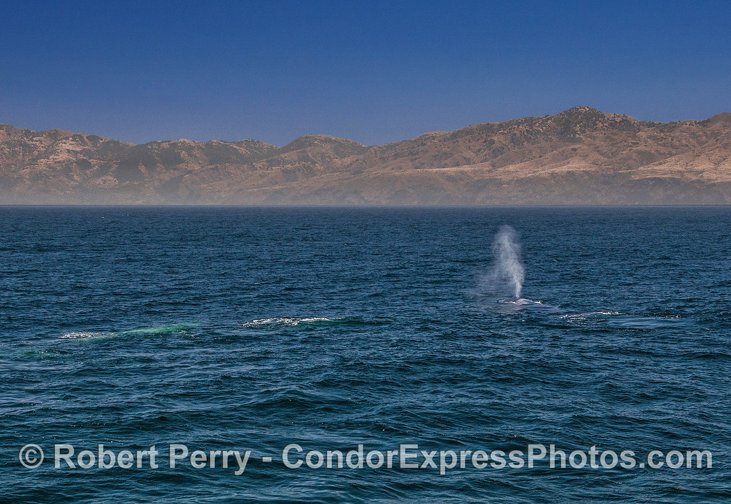 Three giant blue whales, two underwater and one up and spouting, are seen with the northern coastline of Santa Cruz Island in the background.