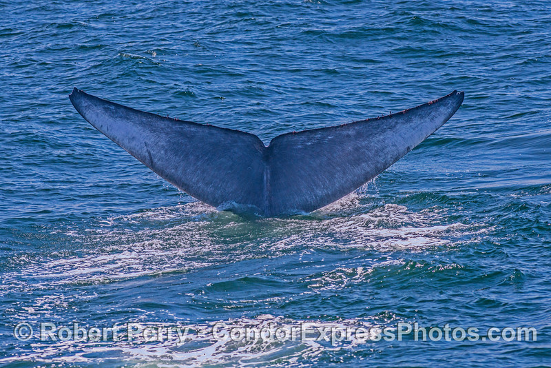 Giant blue whale - tail flukes.