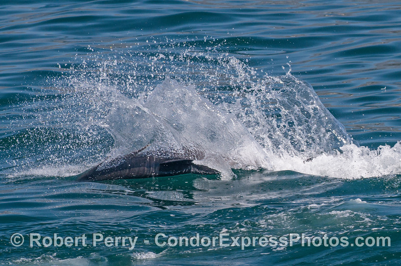 A common dolphin slashes across the surface as it chases anchovies.