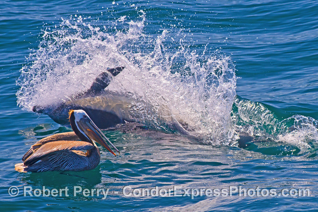 An actively feeding long-beaked common dolphin sends up a sheet of water as it chases northern anchovies on its side.  A hungry brown pelican keeps an eye out for stray anchovies.  Both animals were feeding on the same prey.