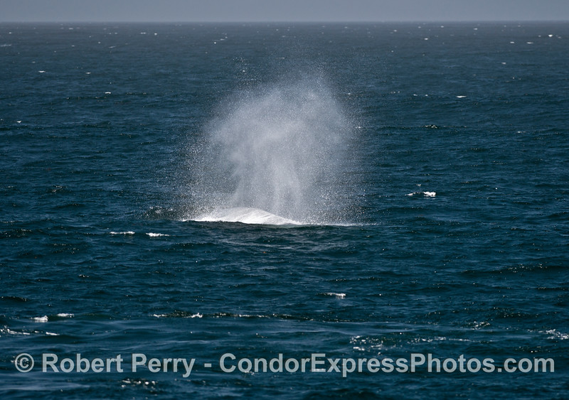 Wind-blown spout spray obscures the giant blue whale which made it.