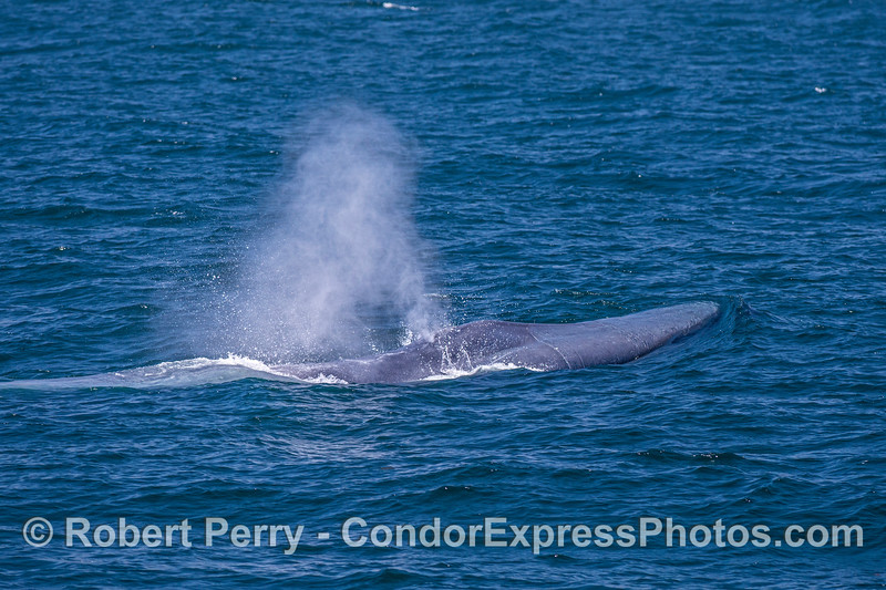 Head of the giant - close look at a blue whale spouting.