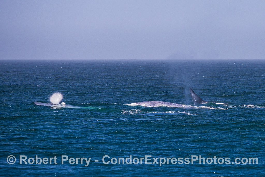 Image 3 of 3 in a row:  Three giant blue whales doing various things on the surface.