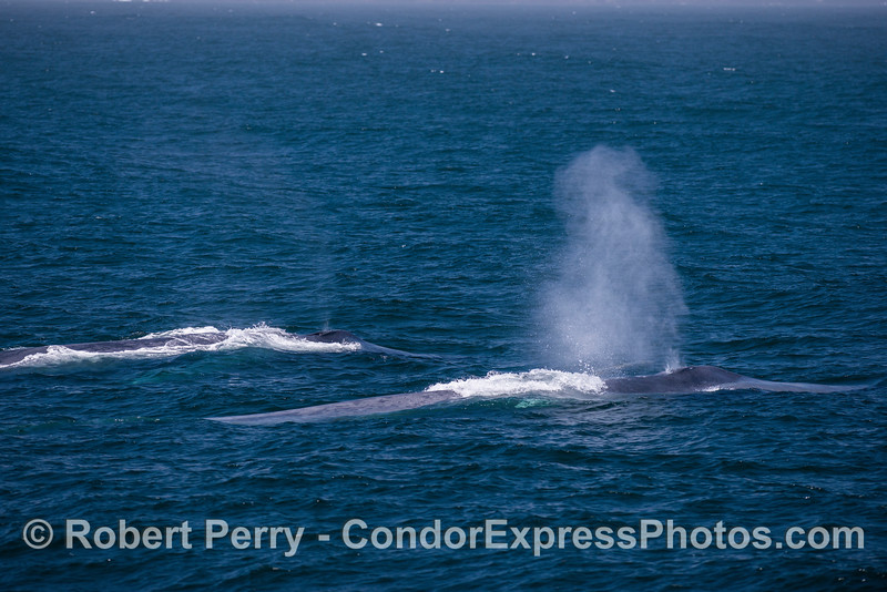 Two giants side-by-side ---  blue whales in the wind.