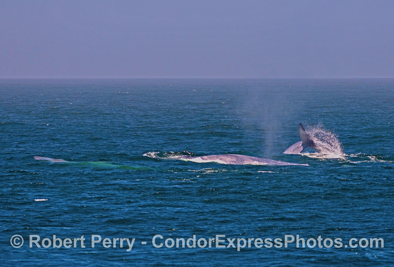 Image 2 of 3 in a row:  Three giant blue whales doing various things on the surface.