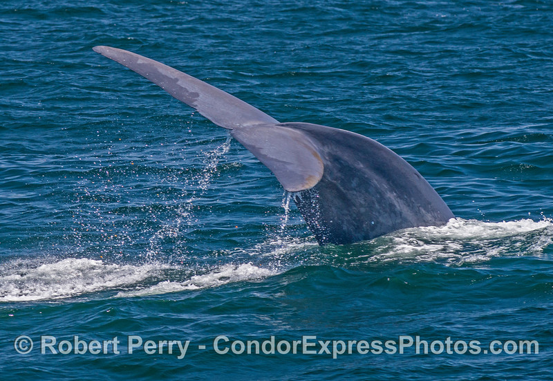 Image 1 of 4 in a row:  A giant blue whale dives with sideways tail flukes action.