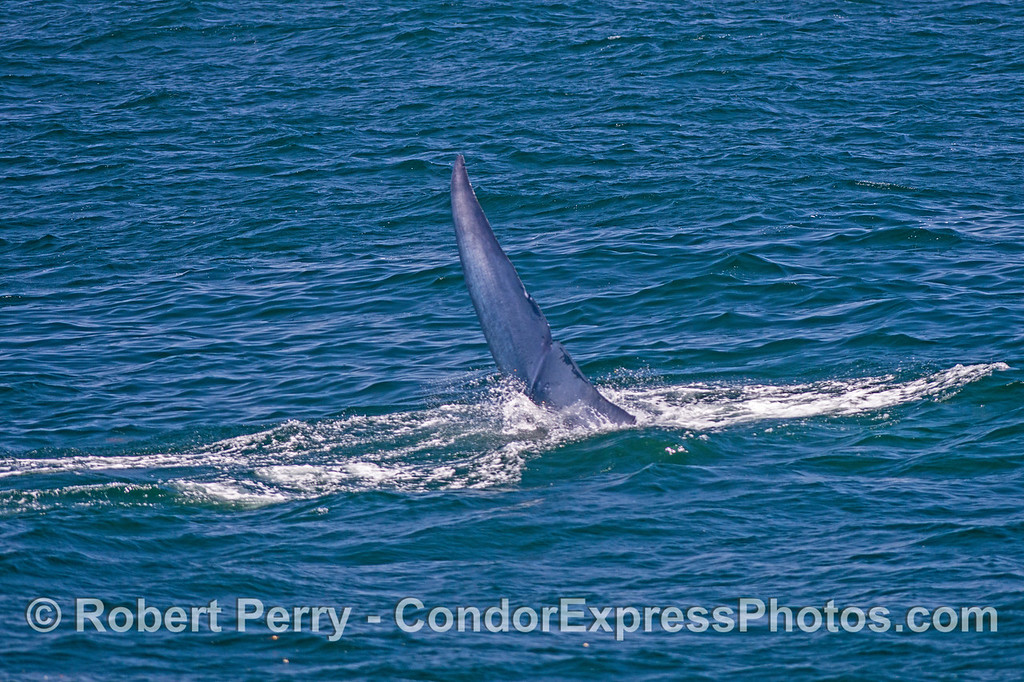 Image 4 of 4 in a row:  A giant blue whale dives with sideways tail flukes action.