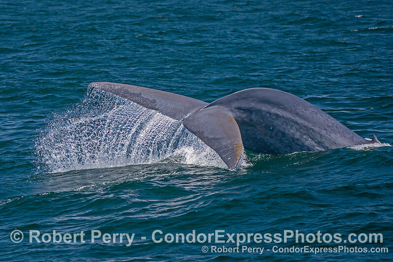 Image 3 of 4 in a row:  A giant blue whale dives with sideways tail flukes action.