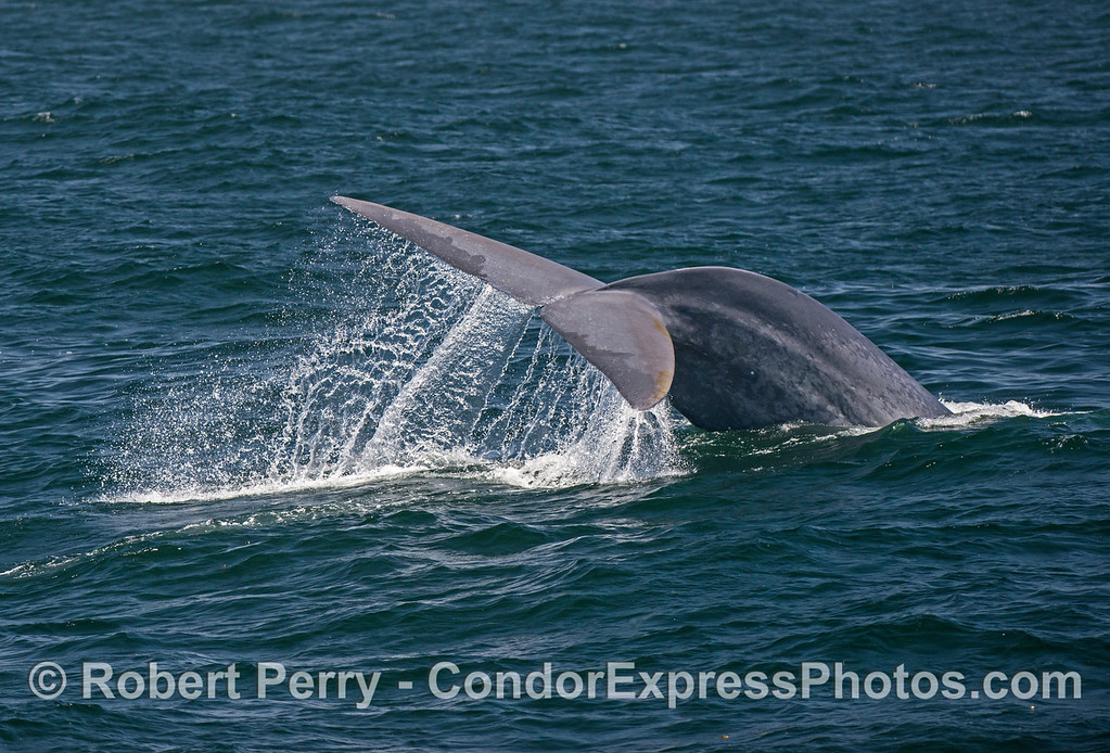 Image 2 of 4 in a row:  A giant blue whale dives with sideways tail flukes action.