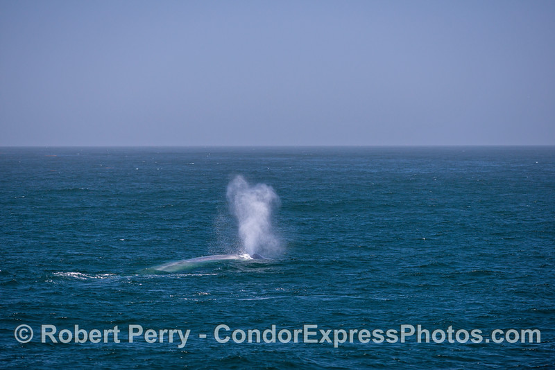 Spouting blue whale with blue water and a bit of a breeze.