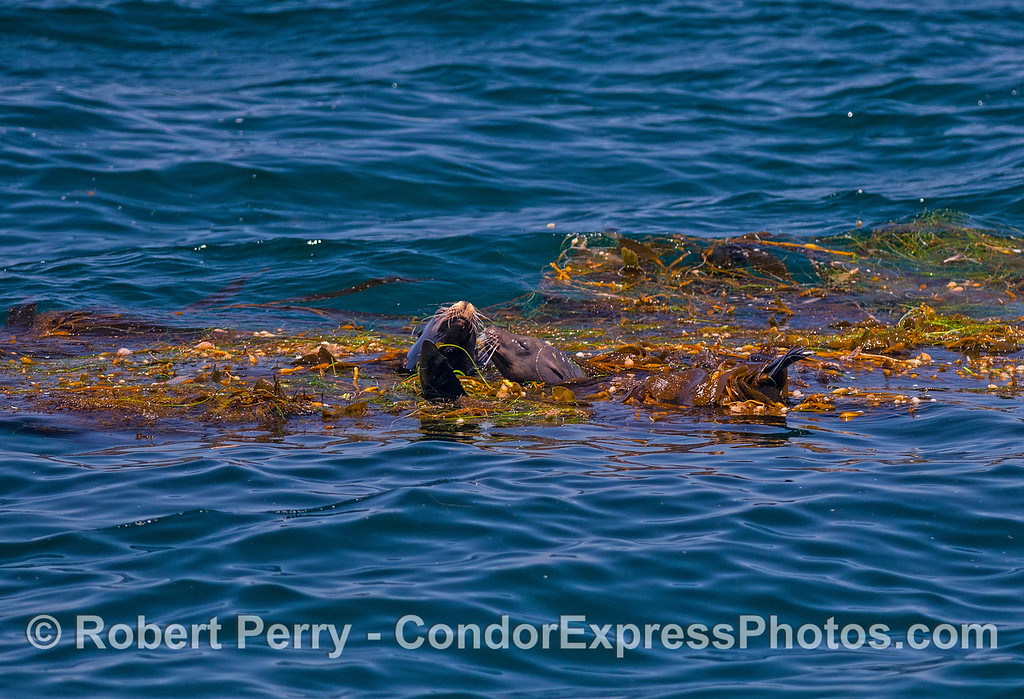 Two California sea lions share a drifting giant kelp (Macrocystis) paddy.