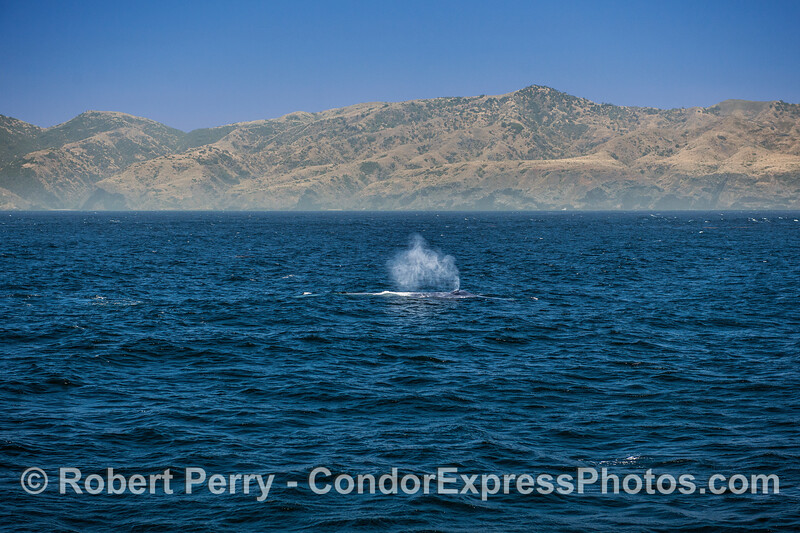 Giant blue whale with Santa Cruz Island and a nice breeze.