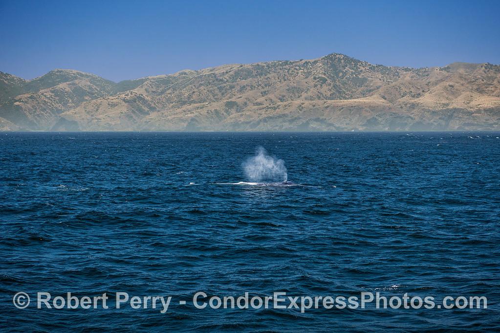 Giant blue whale with Santa Cruz Island and a nice breeze.