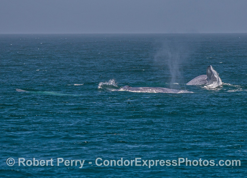 Image 1 of 3 in a row:  Three giant blue whales doing various things on the surface.