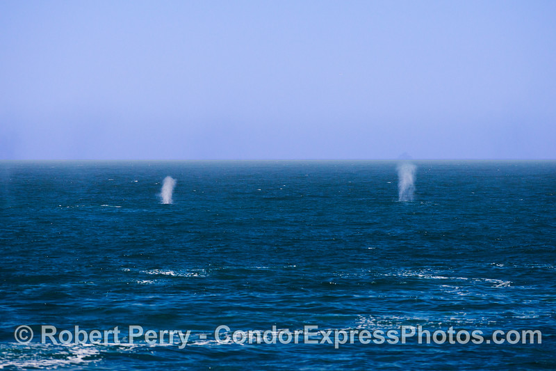 Twin spouts - blue whales in the breeze.