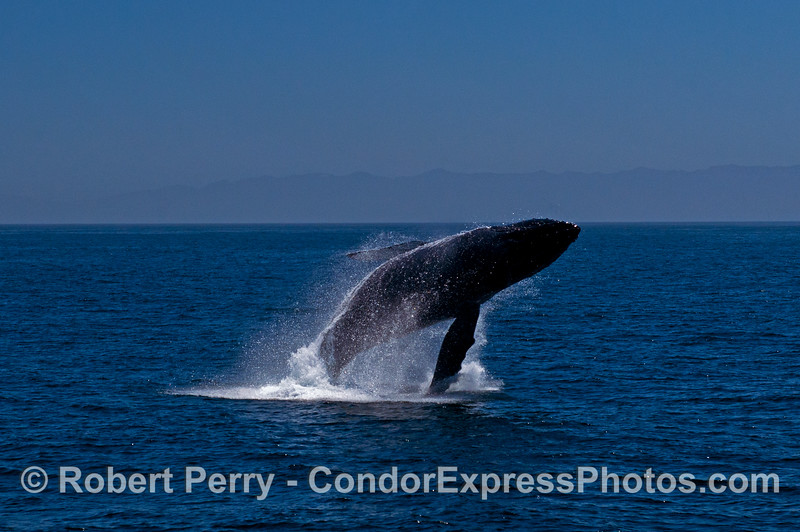 5- A series of 8 images in a row showing a breaching humpback whale sequence.