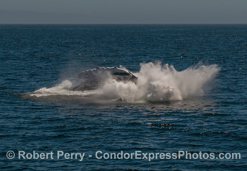 3 of 3 in a row: a very close up look at a breaching humpback whale.