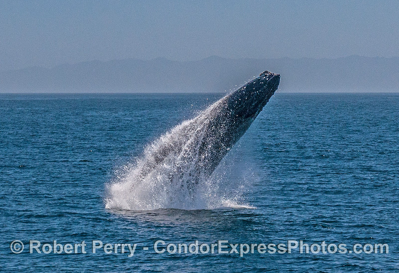 2- A series of 8 images in a row showing a breaching humpback whale sequence.