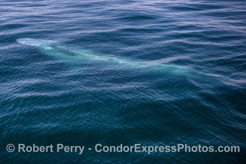 Giant blue whale, whole body visible underwater.