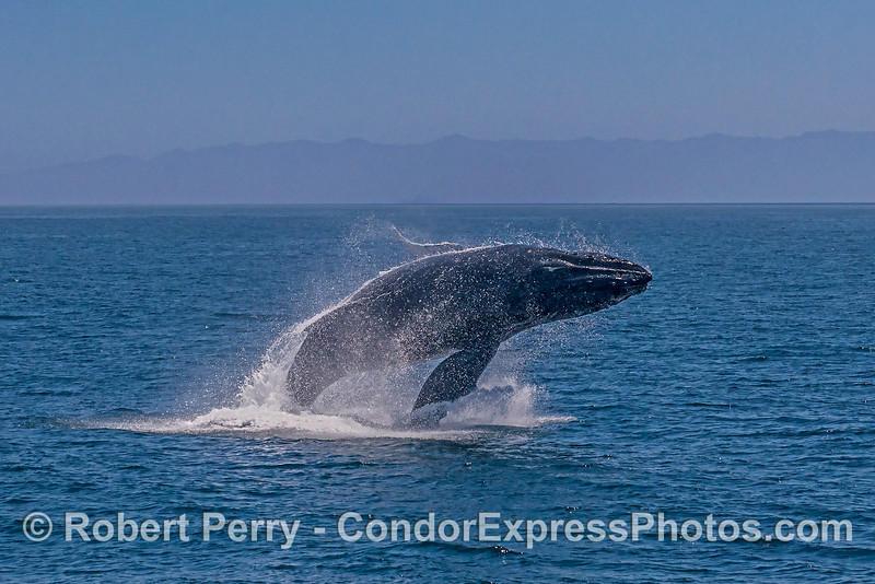 6- A series of 8 images in a row showing a breaching humpback whale sequence.