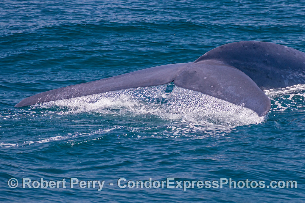 Closer look at a giant blue whale's tail flukes