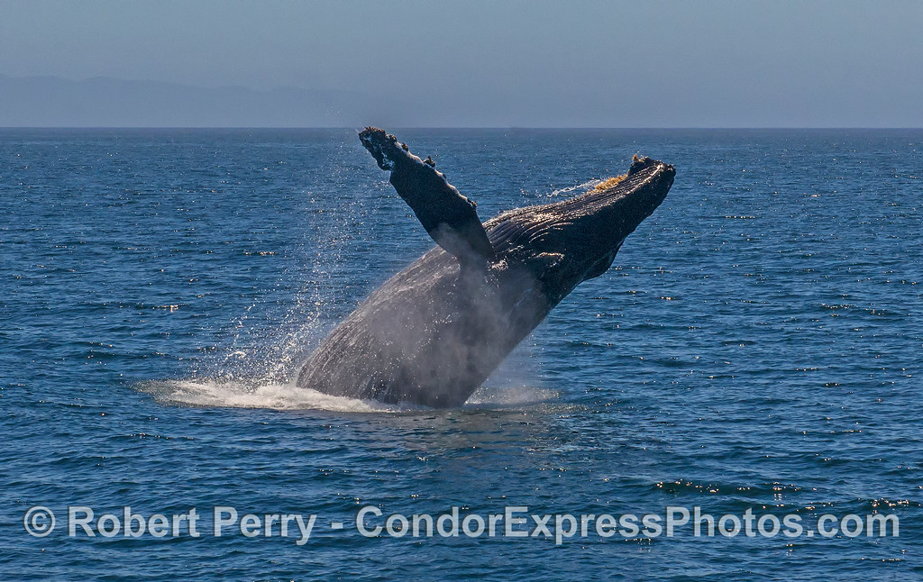 2 of 3 in a row: a very close up look at a breaching humpback whale.