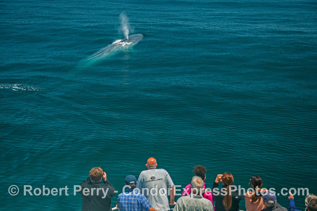 A whole-body view of a very friendly giant blue whale with its fan club close by.