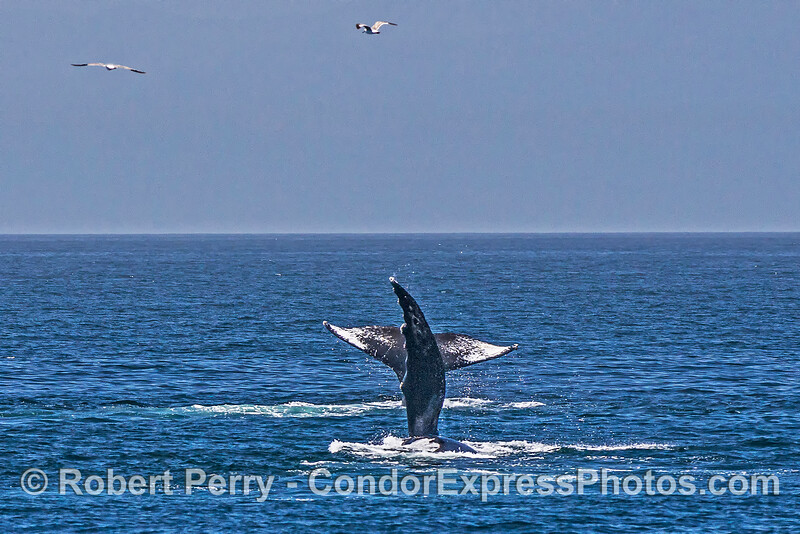 2 humpback whales fooling around:  one tail fluking, the other pectoral fin-slapping