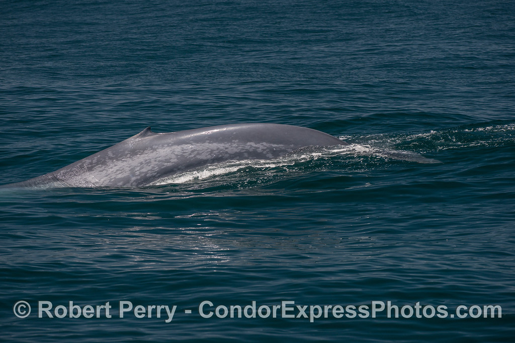 1-If you like sequence shots, here are 7 in a row showing a giant blue whale tail fluking-up