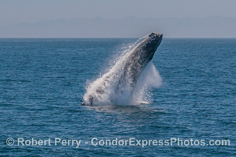 1- A series of 8 images in a row showing a breaching humpback whale sequence.