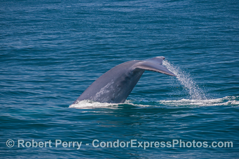 4- A giant blue whale tail fluking-up