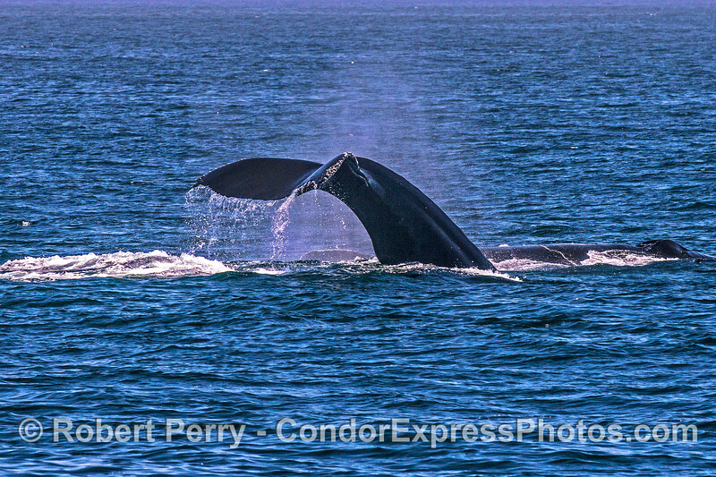 2 humpback whales, side-by-side