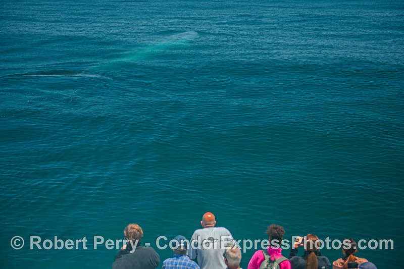 Blue whale underwater near passengers:  a friendly approach