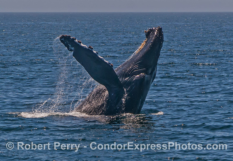 1 of 3 in a row: a very close up look at a breaching humpback whale.